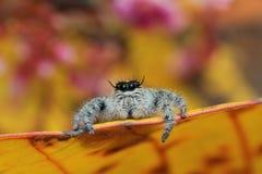 Skokowy pająk na liściu Zdjęcia Stock