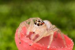 Skokowy pająk na szampan pieczarki ekstremum zakończeniu Makro- ph up - Obraz Royalty Free