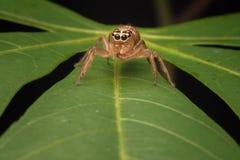 Skokowy pająk na wierzchołku liść zdjęcia stock