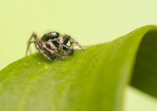 Skokowy pająk - Salticus scenicus Fotografia Royalty Free