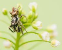 Skokowy pająk - Salticus scenicus Zdjęcia Stock