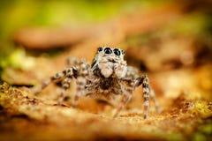 Skokowy pająka pobyt na tyły Obraz Royalty Free