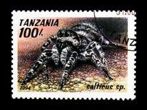 Skokowy pająka portreta niskiego kąta widok (Salticus sp ), pajęczaka seria około 1994, Zdjęcie Stock