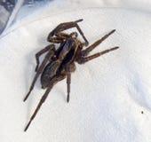skokowy pająk Obraz Royalty Free
