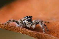 Skokowy pająk Obraz Stock
