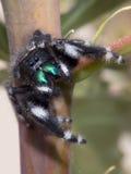 skokowy pająk Obrazy Stock