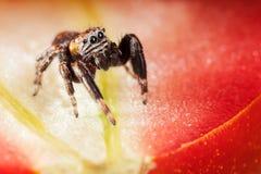Skokowy pająk i pomidor Fotografia Royalty Free