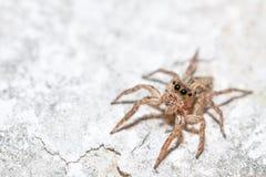 Skokowy pająk kobiety Plexippus petersi Fotografia Stock