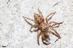 Skokowy pająk kobiety Plexippus petersi Zdjęcia Royalty Free