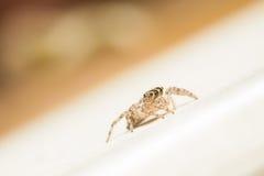 Skokowy pająk kobiety Plexippus petersi patrzeje dla zdobycza Fotografia Royalty Free