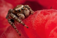 Skokowy pająk na malince Zdjęcia Royalty Free