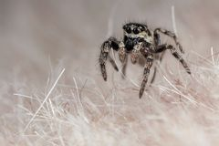 Skokowy pająk na syntetycznym futerku Obraz Royalty Free