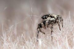 Skokowy pająk ont syntetyczny futerko Obraz Stock
