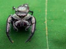 Skokowy pająk - Rhene sp fotografia stock