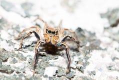 Skokowy pająk samiec Plexippus petersi na wysuszonym mech Obrazy Stock