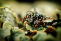 Skokowy pająk siedzi Zdjęcie Stock