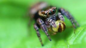 Skokowy pająk zdobycz - Salticidae - zdjęcie wideo
