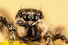 Skokowy pająk, zebra Tylny pająk, pająk, Salticus scenicus, Salticidae Obrazy Stock