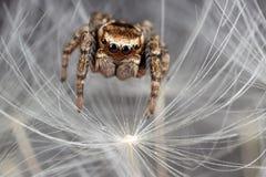 Skokowy pająka i dandelion fluff Obrazy Stock