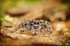 Skokowy pająka pobyt na drzewie Fotografia Royalty Free