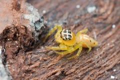skokowy pomarańczowy pająk zdjęcie stock