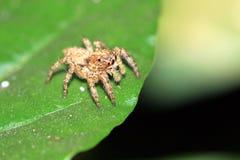 skokowy pomarańczowy pająk Zdjęcie Royalty Free