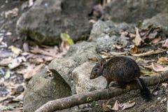 skokowy szczur Obraz Royalty Free
