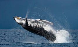 Skoku humpback wieloryb Zdjęcia Royalty Free