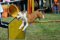 Skoku i psa zwinność zdjęcia royalty free
