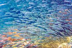 Skola av ansjovisen i ett blått hav med korall Arkivbild