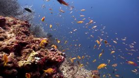 Skola av den ljusa gula orange fisken som är undervattens- på bakgrund av havsbotten Maldiverna stock video