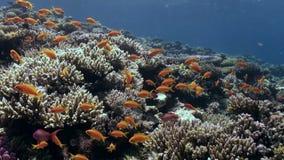 Skola av den ljusa orange fiskdansen i det undervattens- Röda havet för korallrev stock video