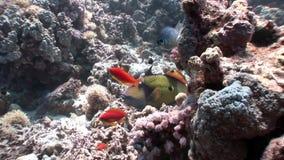 Skola av den ljusa orange fisken på det undervattens- Röda havet för rengöringblåttbakgrund arkivfilmer