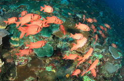 Skola av den röda fisken Arkivfoton