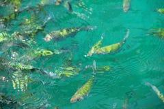 Skola av den randiga ålhavskatten Arkivbilder