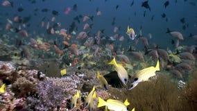 Skola av den randiga gula fisken som är undervattens- på bakgrund av havsbotten i Maldiverna stock illustrationer