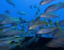 Skola av den tropiska fisken för YellowfinGoatfish med det gula bandet in Arkivfoto