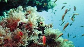Skola av den tropiska fisken i en f?rgrik korallrev med vattenyttersida i bakgrund, R?da havet, Egypten stock video