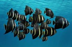 Skola av den tropiska fiskfranskahavsängeln Royaltyfri Foto