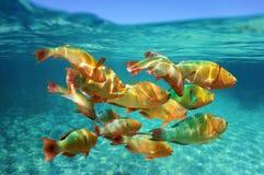 Skola av den tropiska fiskregnbågeparrotfishen Royaltyfri Bild