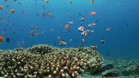 Skola av den tropiska lilla mångfärgade fisken på reven stock video