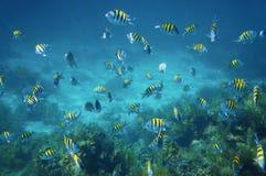 Skola av den viktiga fisken för sergeant i det karibiska havet Royaltyfri Bild