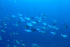 Skola av enhörningfiskskolan Naso Brevirostris på blå backgr royaltyfri foto