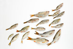 Skola av fiskbegreppet Royaltyfri Bild