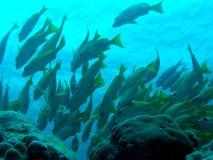 Skola av fisken Fotografering för Bildbyråer