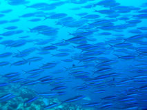 Skola av fisken Royaltyfri Bild