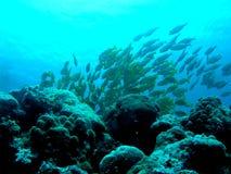 Skola av fisken Arkivfoto