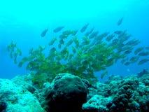 Skola av fisken Arkivfoton