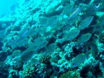 Skola av fisken Royaltyfri Foto