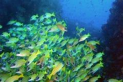 Skola av fisken Arkivbilder